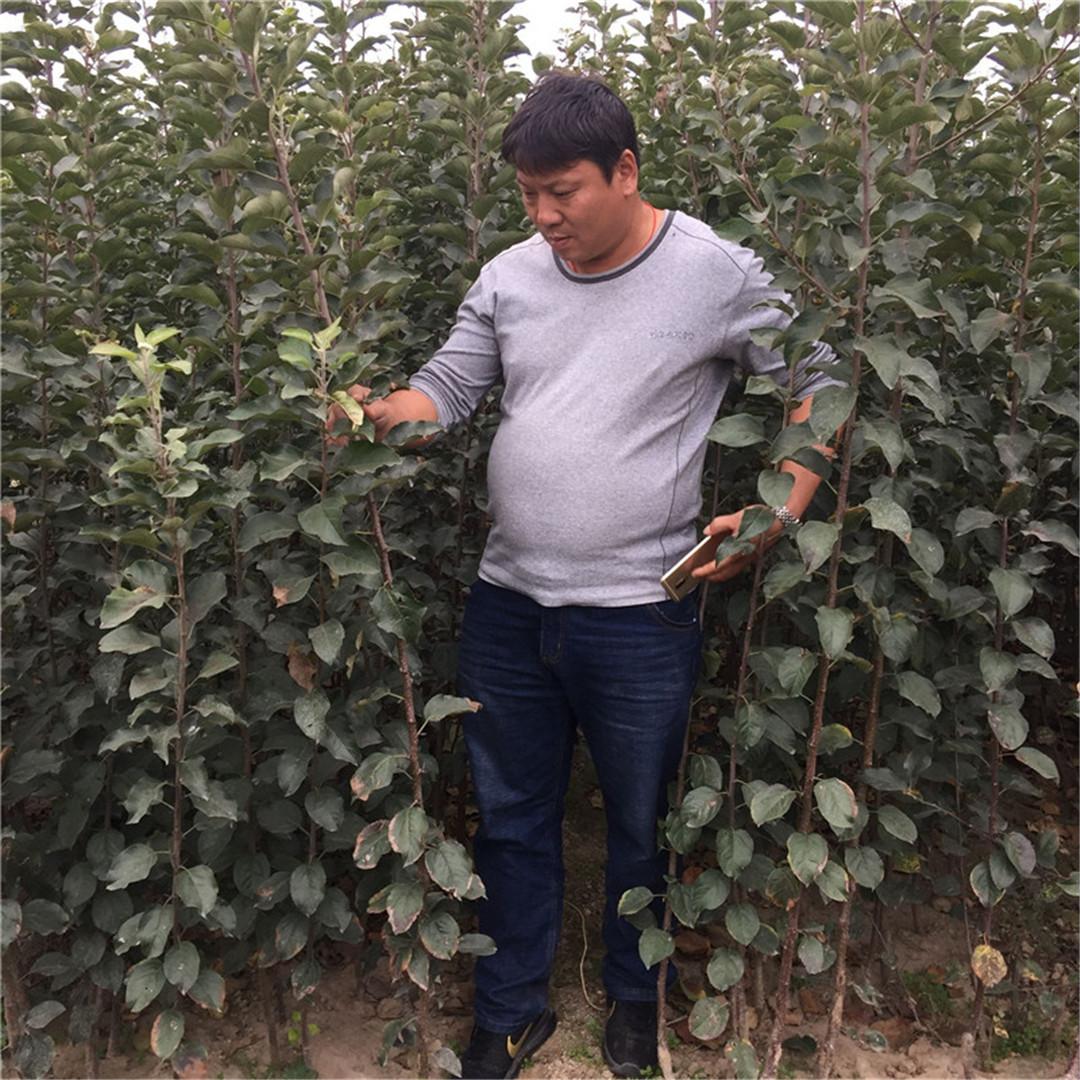 矮化富士王苹果树苗介绍  华硕苹果树苗纯度厂家