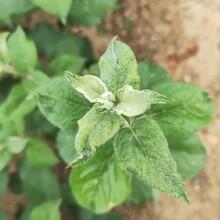 矮化烟富八号苹果树苗剪修管理/苹果苗前景好的树苗图片