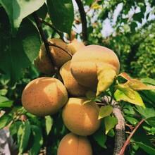 嫁接凯特杏树苗批发价格/杏树苗种植管理图片