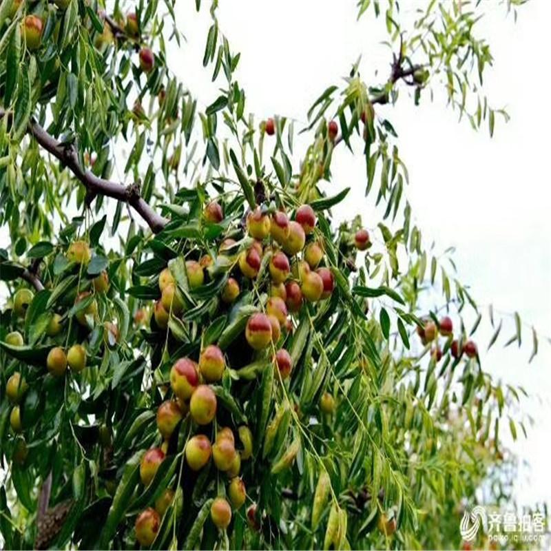 海南省直辖早酥脆枣树苗种植高产技术青枣树苗批发