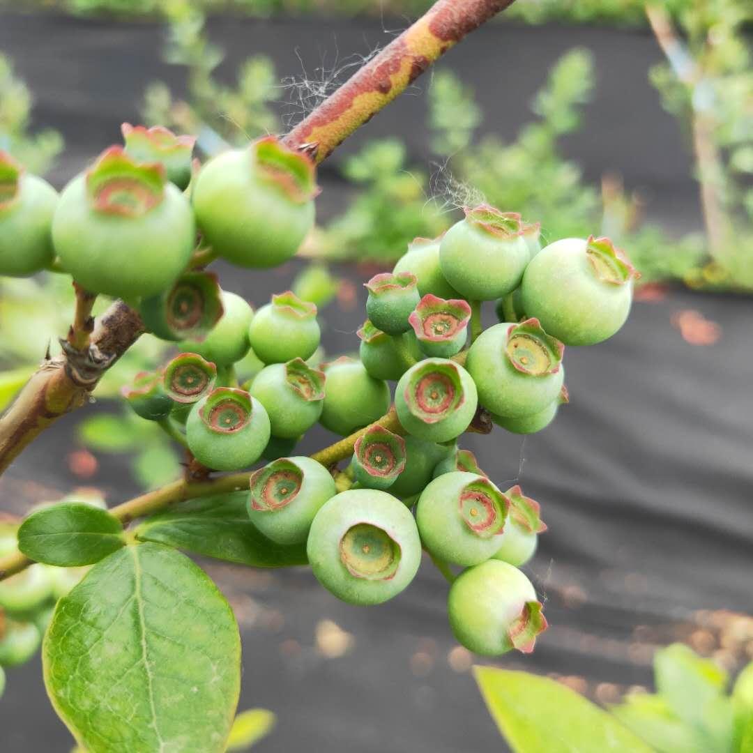 3年斯巴坦藍莓苗基地批發  兔眼藍莓苗批發