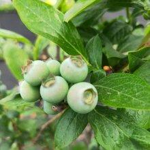 伯克利藍莓苗栽培技術,藍莓苗基地歡迎你