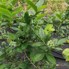 艾文藍藍莓苗品種齊全。鑫奧農業歡迎你