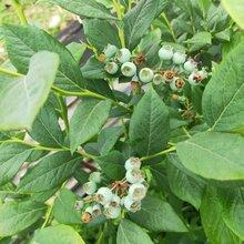 伯克利藍莓苗果園設計,藍莓苗基地歡迎你