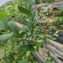 藍莓苗價格、納爾遜藍莓苗長期出售