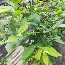 藍莓苗價格、晚藍藍莓苗免費提供種植指導