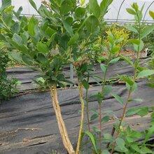 兔眼藍莓苗詳細介紹,藍莓苗基地歡迎你