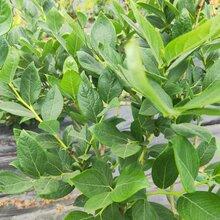 萊格西藍莓苗發展前景快。鑫奧農業歡迎你