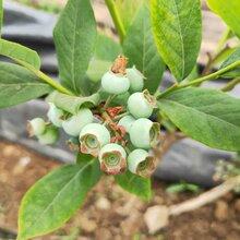 布萊登藍莓苗批發價格,藍莓苗基地歡迎你