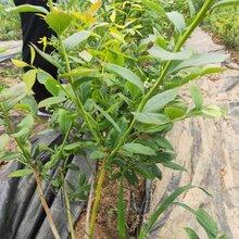 藍莓苗價格、斯巴坦藍莓苗規劃管理