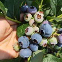 迪克西藍莓苗商家誠信為本。鑫奧農業歡迎你