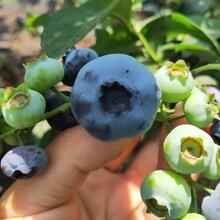 北衛藍莓苗量大從優,藍莓苗基地歡迎你