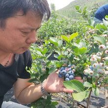 北村藍莓苗免費提供種植技術,藍莓苗基地歡迎你