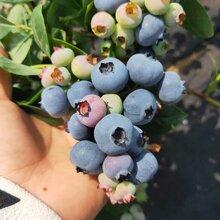 布里吉塔藍莓苗基地優質服務,藍莓苗基地歡迎你