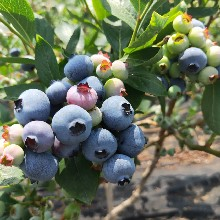 愛國者藍莓苗歡迎來電咨詢,藍莓苗基地歡迎你