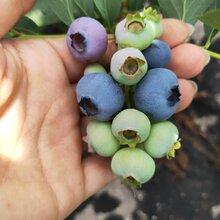 高叢藍莓苗結果早,藍莓苗基地歡迎你