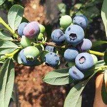 公爵藍莓苗種植技術要點,藍莓苗基地歡迎你