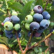 愛國者藍莓苗栽培技術。鑫奧農業歡迎你
