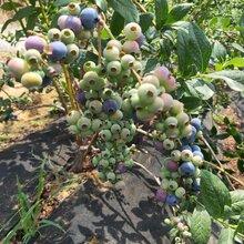 藍莓苗價格、塞拉藍莓苗種植介紹