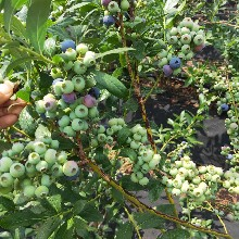 晚藍藍莓苗銷售管理,藍莓苗基地歡迎你