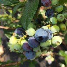 藍莓苗價格、北空藍莓苗基地信息推薦