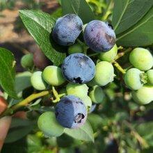 藍莓苗價格、迪克西藍莓苗大型培育基地