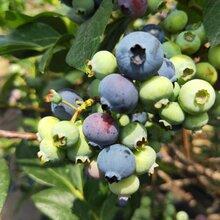 藍莓苗價格、達柔藍莓苗量大從優