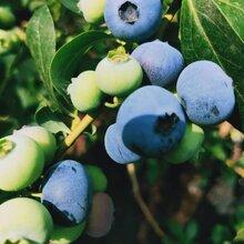 斯巴坦藍莓苗移栽管理技術,藍莓苗基地歡迎你
