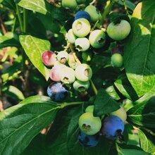 藍莓苗價格、伯克利藍莓苗優良品種