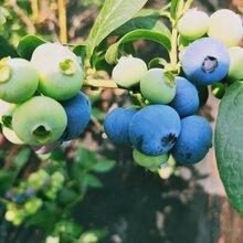 迪克西藍莓苗基地供應。鑫奧農業歡迎你