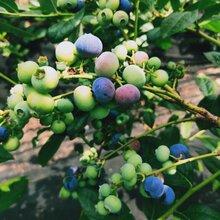 藍莓苗價格、北陸藍莓苗歡迎來電咨詢