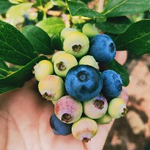 北空藍莓苗基地承諾守信。鑫奧農業歡迎你