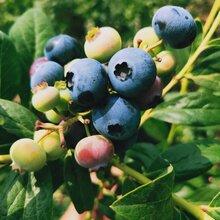 藍莓苗價格、北村藍莓苗批發基地