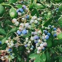 斯巴坦藍莓苗質優價廉。鑫奧農業歡迎你