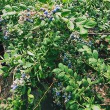 布里吉塔藍莓苗基地直銷,藍莓苗基地歡迎你
