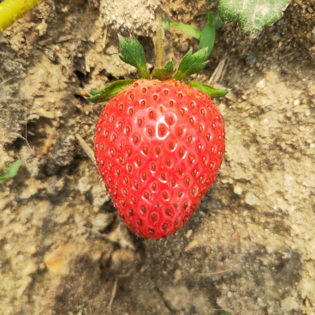 索县红实美草莓苗品种奶油草莓苗出售