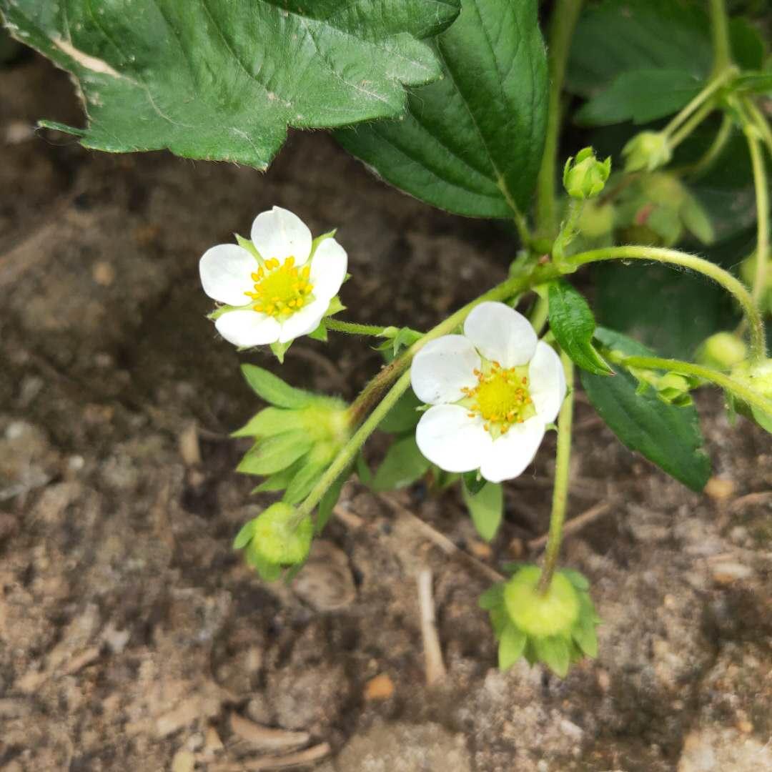 【奶油草莓苗价格、奶油草莓苗出售价格】-供应-黄页88网