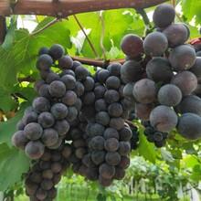 基地出售黑芭拉蒂葡萄树苗凤凰51葡萄树苗管理方法图片