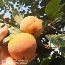 常年出售新秋柿子树苗盖柿子树苗价格合理图片