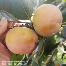 常年出售富有柿子树苗富有甜柿子树苗大量预定图片
