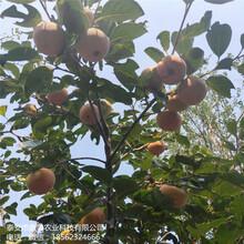 常年出售涩柿子树苗镜面柿子树苗质优价廉图片
