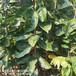 常年出售磨盤柿子樹苗次郎甜柿子樹苗鑫奧苗木