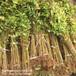 矮化福星樱桃树苗信息推荐,出售俄八樱桃树苗