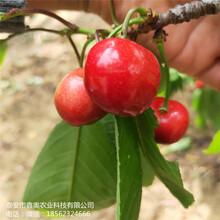 大量出售美早樱桃树苗保湿发货美早樱桃树苗图片