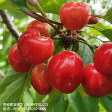 大量出售黑珍珠樱桃树苗基地出售早大果樱桃树苗图片
