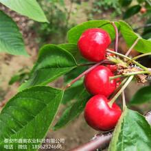 大量出售黑珍珠樱桃树苗批发基地俄八樱桃树苗图片