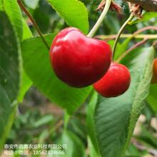 大量出售红灯樱桃树苗发展前景快拉宾斯樱桃树苗图片