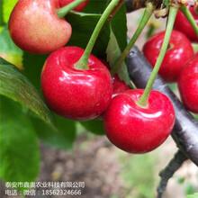 大量出售先锋樱桃树苗多少钱黄蜜樱桃树苗图片