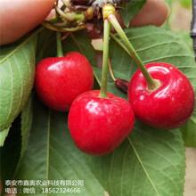 大量出售雷尼樱桃树苗货源充足黑兰特樱桃树苗图片