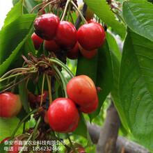 大量出售雷尼樱桃树苗信息推广艳阳樱桃树苗图片
